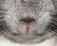 Область носа и рта шиншиллы должна быть сухой