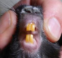 У шиншилл 20 зубов: 16 коренных и 4 резца